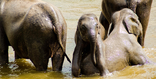 Young Elephants bathing in the River at Pinnawala Orphanage