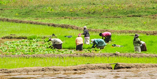 Paddy Fields at the Panabokke Village Tour